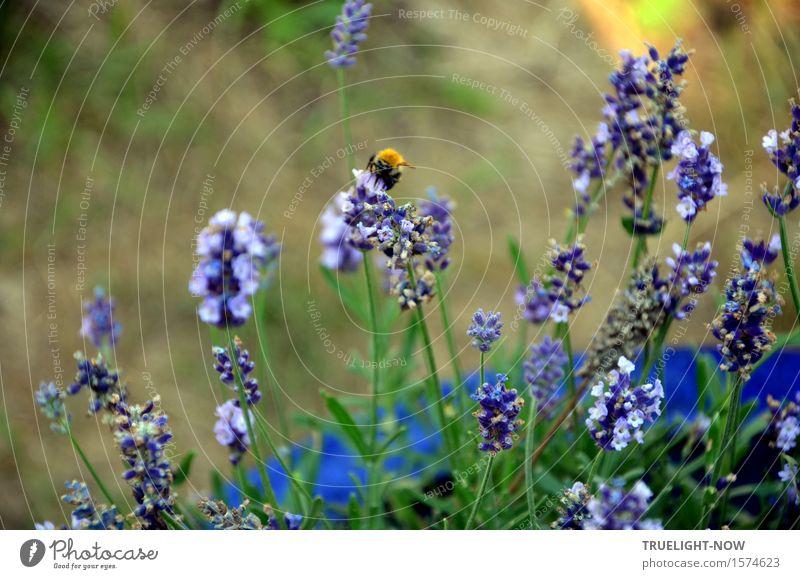 Bald wieder Natur Pflanze Sommer Schönes Wetter Blume Blatt Blüte Lavendel Garten Nutztier Wildtier Hummel 1 Tier berühren Blühend Duft Fressen krabbeln