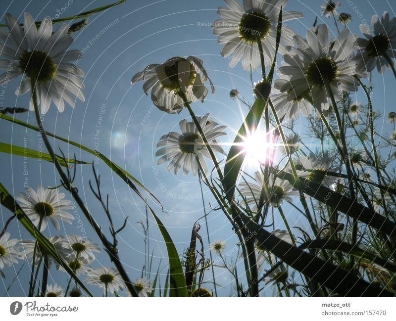 Gänseblümchen-Wald Natur Himmel Sonne Blume Pflanze Blüte Gras Frühling Rasen Makroaufnahme Wiesenblume