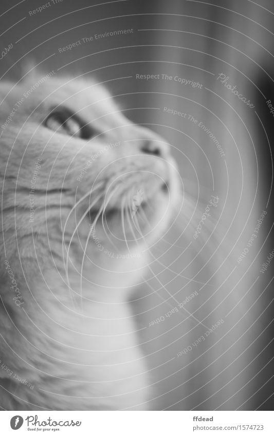 Schwarz-Weiß-Katze-Porträt Tier Haustier Tiergesicht 1 weiß Neugier Schnurrhaar Detailaufnahme Schwarzweißfoto Innenaufnahme Nahaufnahme Menschenleer Tag