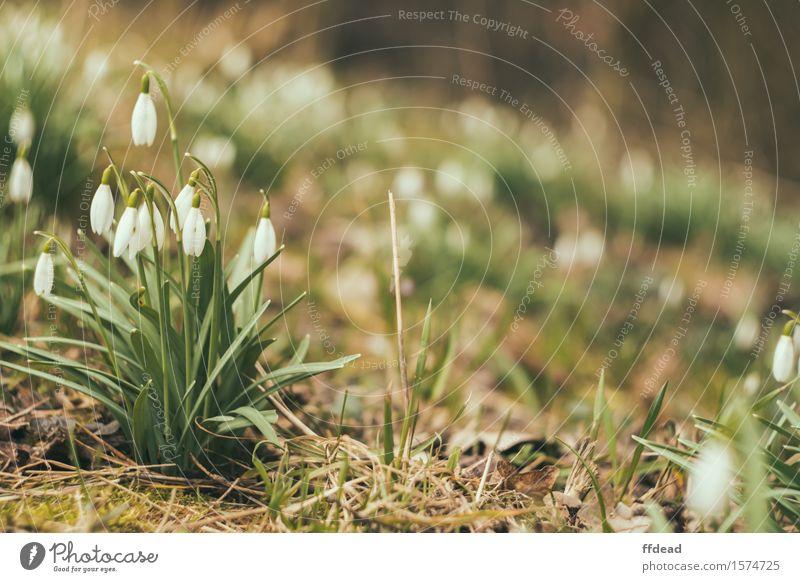 Natur Pflanze grün weiß Blume Wald Frühling Hintergrundbild Garten Duft Schneeglöckchen