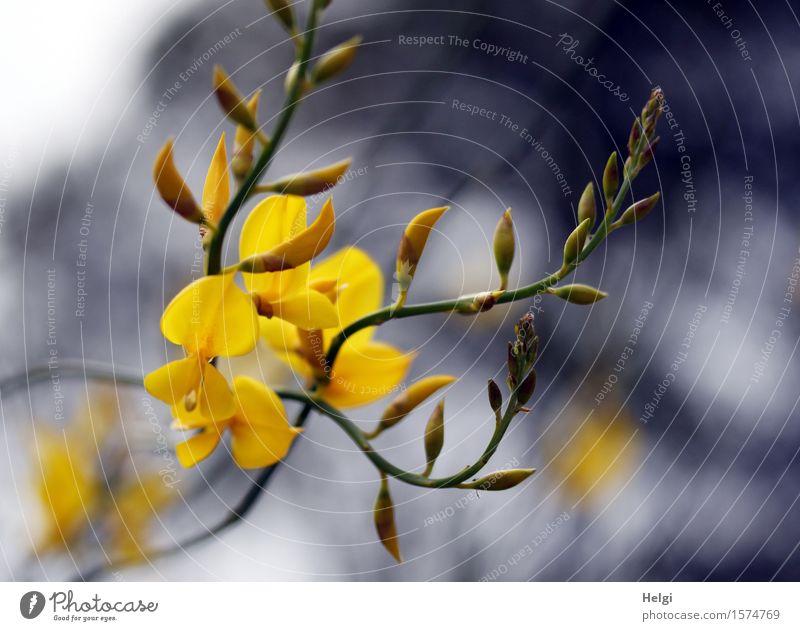 für willma... Umwelt Natur Pflanze Frühling Sträucher Blüte Wildpflanze Ginster Ginsterblüte Blütenknospen Wald Blühend Wachstum frisch schön einzigartig