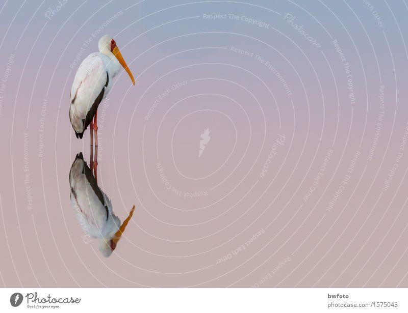 Nimmersatt Storch Natur Pflanze blau Wasser weiß Erholung Einsamkeit ruhig Tier Umwelt Wärme Gefühle Denken Vogel rosa Zufriedenheit