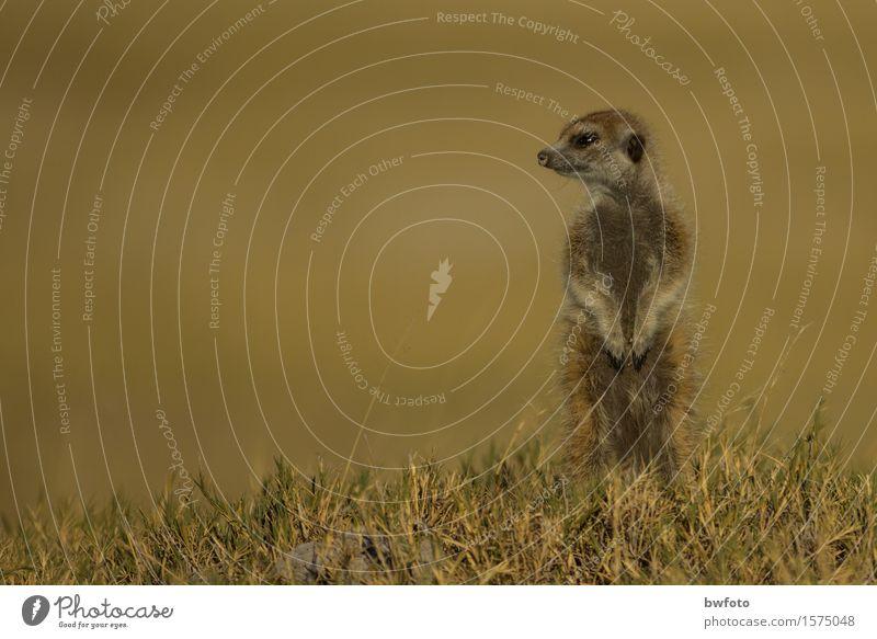 Erdmännchen - Wildlife Ferien & Urlaub & Reisen Tourismus Abenteuer Ferne Safari Natur Pflanze Wärme Gras Wiese Wüste Tier Wildtier 1 beobachten Blick niedlich