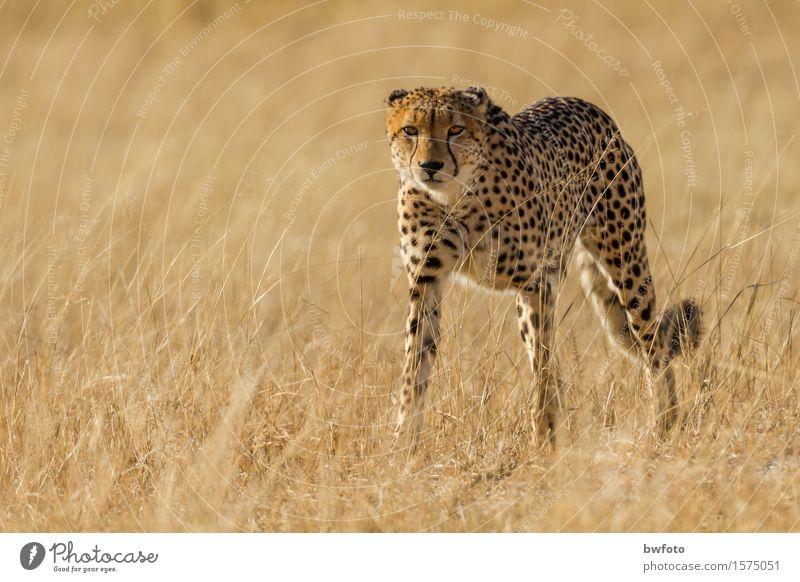 Gepard - Cheetah Natur Ferien & Urlaub & Reisen Pflanze Tier Umwelt Wiese braun Tourismus wild Kraft Wildtier ästhetisch Erfolg gefährlich beobachten bedrohlich