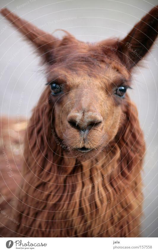 Lady Lama Glama schön Tier Auge Kopf braun Fell Tiergesicht Zoo Säugetier Kamel Lama Streichelzoo
