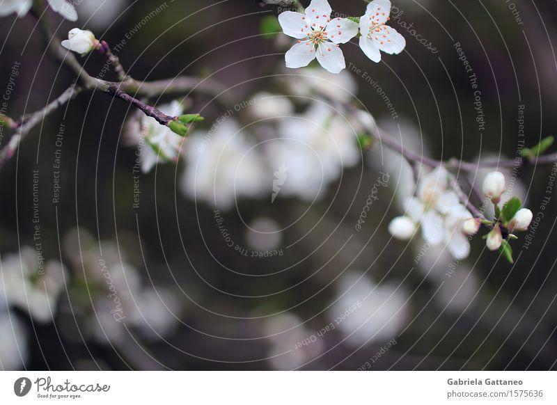 Früh'linge Natur Pflanze Frühling Blüte Obstbaum Mirabelle schön weiß Beginn elegant Blühend blühen Ästchen Zweig Jungpflanze Gedeckte Farben Außenaufnahme
