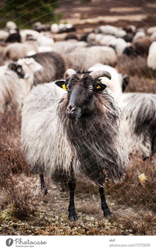 Schafbock Natur Ferien & Urlaub & Reisen weiß Landschaft Tier schwarz Umwelt natürlich braun wild Kraft authentisch einzigartig Mut Wachsamkeit