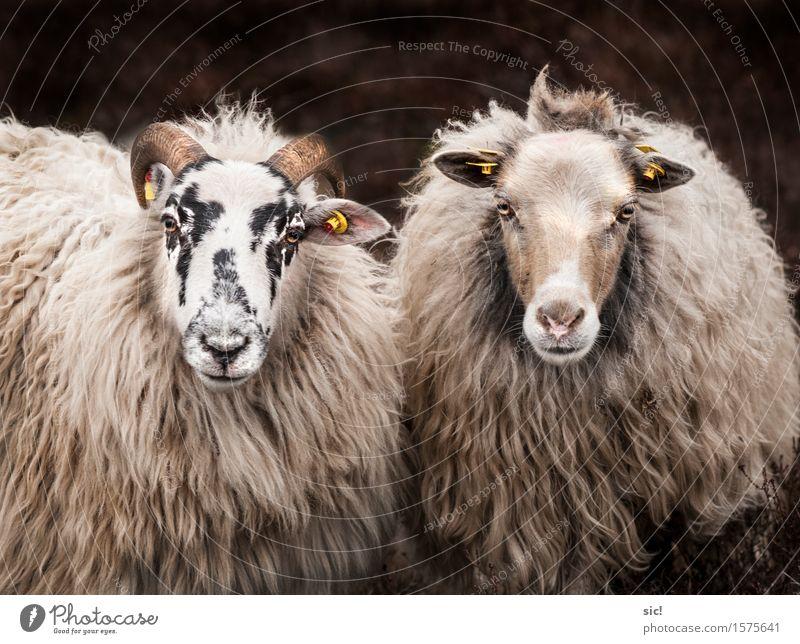 Schaf-Duo Frühling Heide Lüneburger Heide Tier Nutztier Tiergesicht 2 Tierpaar Erholung authentisch Zusammensein einzigartig natürlich Neugier Originalität