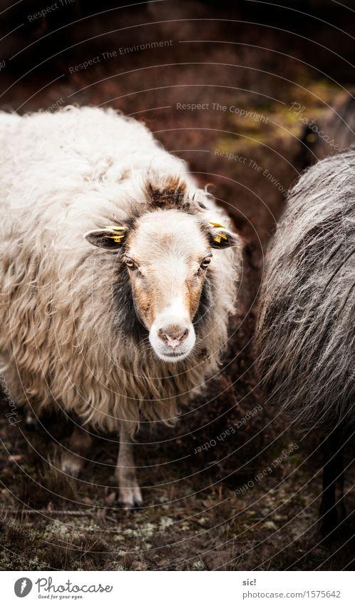 Schaf Stadt weiß ruhig Tier Umwelt Traurigkeit Frühling natürlich braun Zufriedenheit authentisch weich geheimnisvoll Fell Tiergesicht
