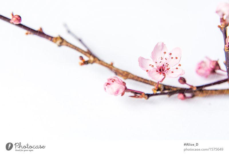 Frühlingszweig rosa Natur Pflanze Blume Blüte Zeichen natürlich weiß Makroaufnahme abstrakt Freisteller Hintergrund neutral High Key Unschärfe