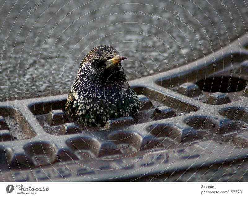 Deutschland sucht den SuperStar Straße Vogel gefährlich bedrohlich Abfluss Neugier Verkehrswege Miete Gully Versteck Kick Revier Pechvogel