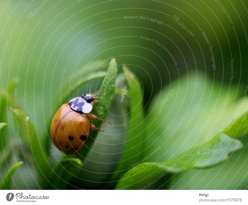 frisch geschlüpft... Umwelt Natur Pflanze Tier Sommer Sträucher Blatt Hibiscus Garten Käfer Marienkäfer 1 krabbeln einzigartig klein natürlich grün rot schwarz
