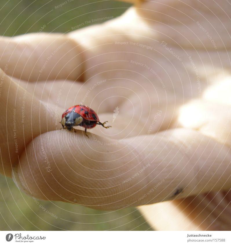 Der Erste dieses Jahr Marienkäfer Siebenpunkt-Marienkäfer Glück Frühling Käfer Insekt Vertrauen Geborgenheit Turnen Hand Finger Freude Sicherheit Juttaschnecke