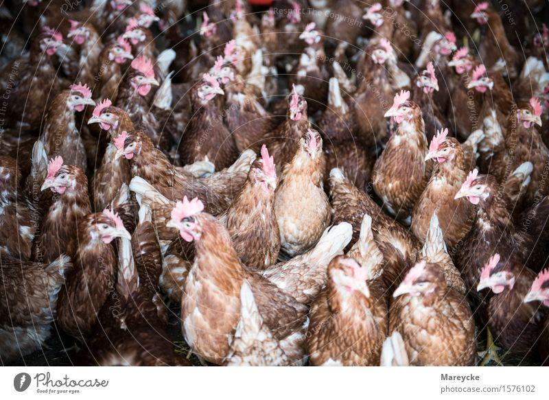 Hühner Tier braun Vogel Tiergruppe füttern Nutztier Stall Geflügelfarm