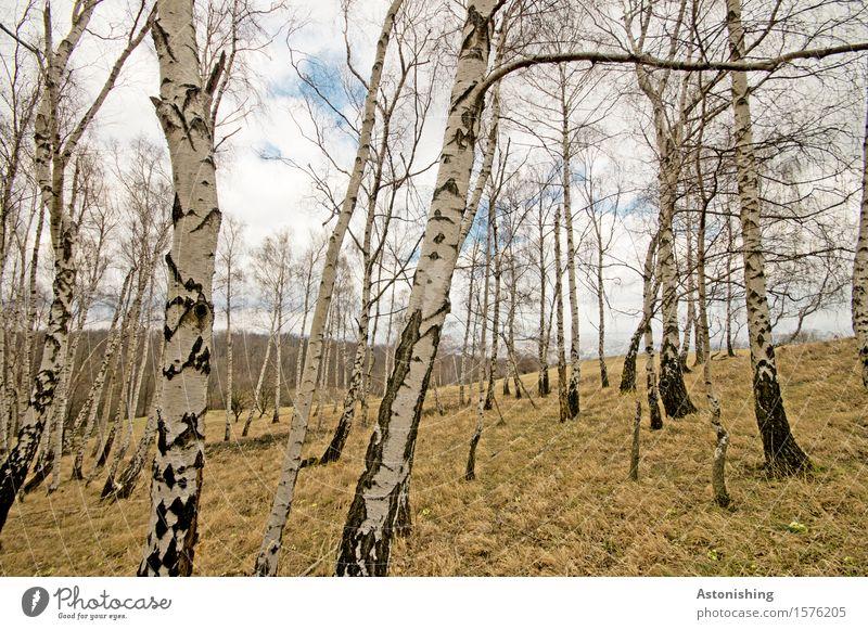Birkenhain Himmel Natur alt Pflanze blau weiß Baum Landschaft Einsamkeit Wolken Wald schwarz Umwelt Frühling Wiese Gras