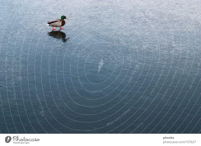 ente eislauf Wasser Winter kalt Eis gefroren Ente Schlittschuhlaufen Donau Erpel
