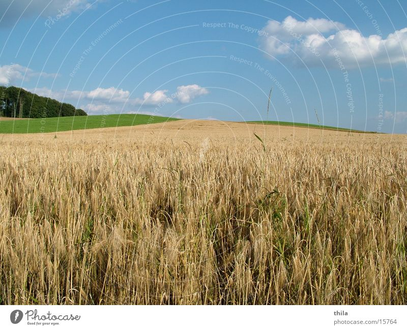 Weizenfeld Feld Ähren grün Sommer Berge u. Gebirge Himmel. Wiese Ernte