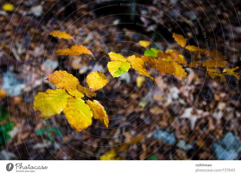 Herbstblätter Baum mehrfarbig herbstlich Blatt Herbstlaub Herbstfärbung Herbstwald Idylle Natur Schweiz Weissenstein leuchten