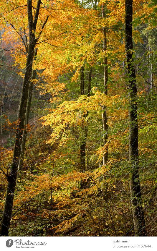 Herbstwald Pflanze Blatt Farbe Wald Herbst Ast Jahreszeiten Baumstamm herbstlich Herbstwald