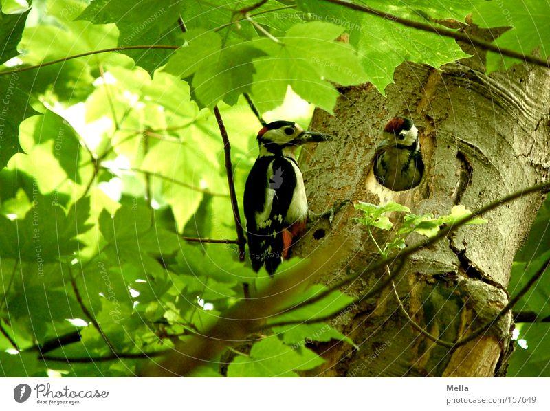 Elternstress Natur grün Baum Pflanze Tier Wald Umwelt Vogel natürlich Schutz füttern Futter Nachkommen Küken kümmern behüten
