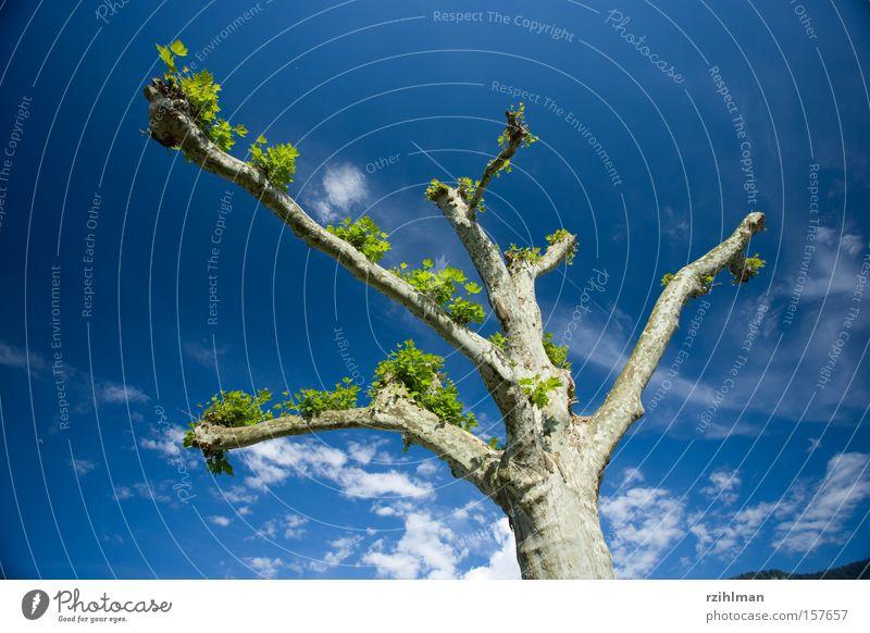 Platane Ast Baum Himmel Kondensstreifen Baumrinde blau Flugzeug grün Platanengewächs ahornblättrig zurückgeschnitten