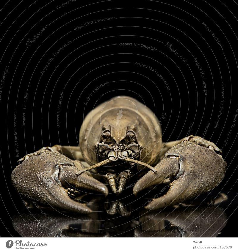 zwicki schwarz Tier Gebiss nah Biologie Krebstier Fühler hart Schere Zacken gepanzert Chitin Flußkrebs