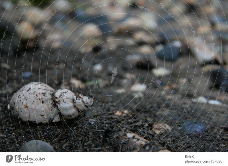 eine von vielen Muschel Natur Strand Meer unberührt Schnecke Kontrast Stein dunkel Einsamkeit Trauer Sehnsucht Rückzug Vielfältig ruhig Makroaufnahme