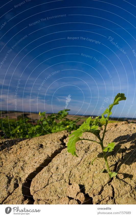 Frühlingserwachen Feld Jungpflanze Blühend grün Himmel Pol- Filter Erde Kruste Kartoffeln Makroaufnahme Nahaufnahme hervorbrechen