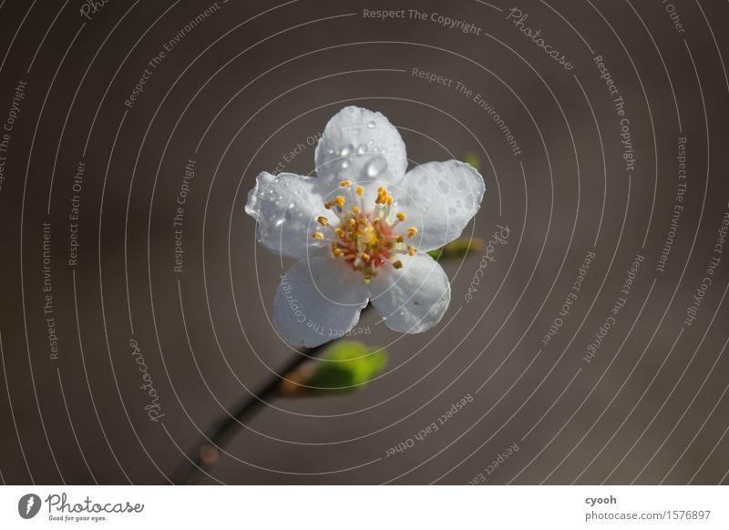 aus grau wird bunt Natur Pflanze Wassertropfen Frühling Baum Blume Blüte Blühend Wachstum Duft frisch hell neu positiv rund weich gelb weiß Lebensfreude