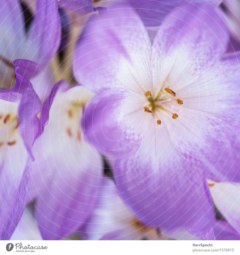 Bleamln Pflanze Blüte frisch nerdig schön violett weiß Blume Blumenstrauß Blumenstengel Blütenstempel Blütenblatt Blühend Blütenkelch Frühling Frühlingsblume