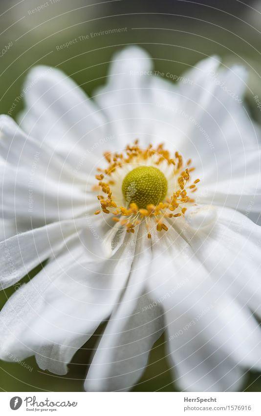 Landeplatz Natur Pflanze Blume Blüte ästhetisch frisch natürlich rund schön gelb weiß rein Blütenblatt Blütenstempel Fortpflanzung Blühend Blütenkelch zart
