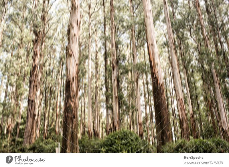 |||||||| Natur alt grün Sommer Baum Landschaft Wald Hintergrundbild Holz braun Sträucher groß Neigung Baumstamm aufwärts Australien