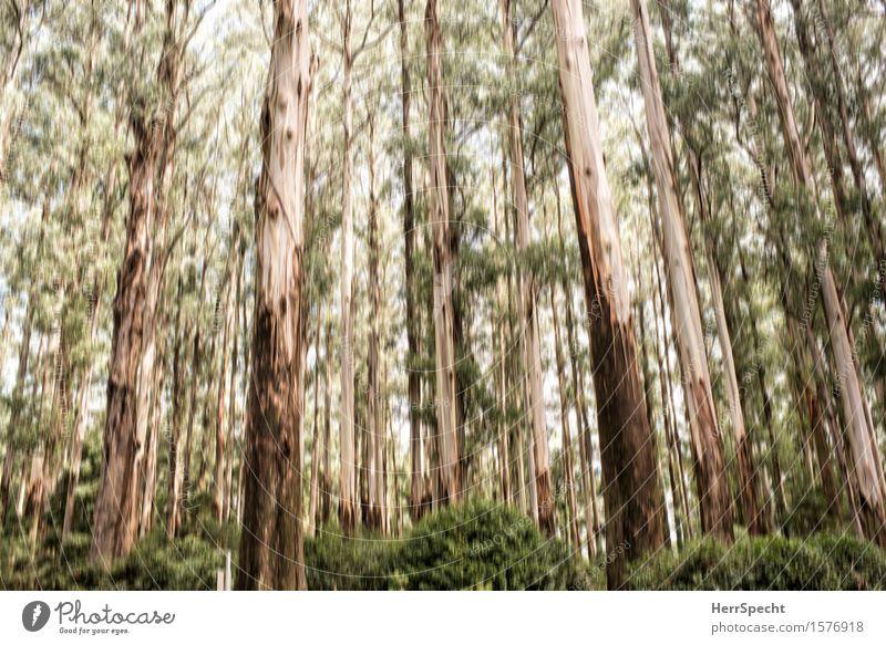 |||||||| Natur Landschaft Sommer Baum Sträucher Grünpflanze Wald Australien Victoria Holz alt groß braun grün Unschärfe Hintergrundbild aufwärts Baumstamm