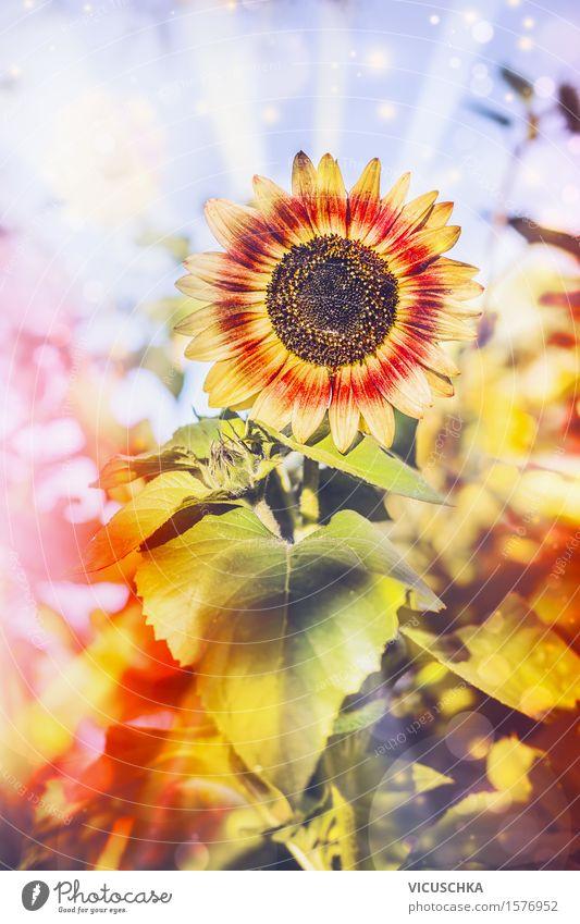 Hübsche Sonnenblume im Garten Natur Pflanze Sommer Blume rot Blatt gelb Blüte Herbst Lifestyle Design Park Feld Sträucher