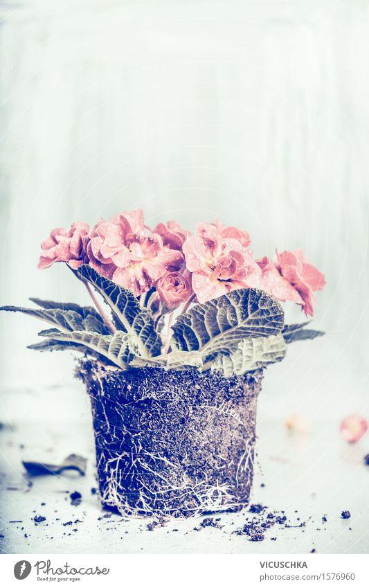 Primel Blumenpflanze Stil Freizeit & Hobby Sommer Häusliches Leben Garten Dekoration & Verzierung Tisch Natur Pflanze Frühling Herbst Blatt Blüte Blühend retro