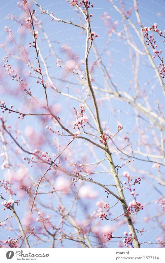 ein bißchen Frühling Natur Landschaft Pflanze Sonne Sommer Baum Stimmung Ast Blühend Blüte blutpflaume Garten rosa blau Blauer Himmel Frühlingsgefühle Farbfoto