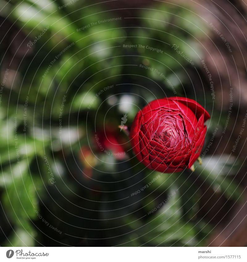 Ranunkelzeit Natur Pflanze Frühling Blume Blüte Grünpflanze Stimmung rot Garten Blütenknospen Farbfoto Außenaufnahme Detailaufnahme Makroaufnahme