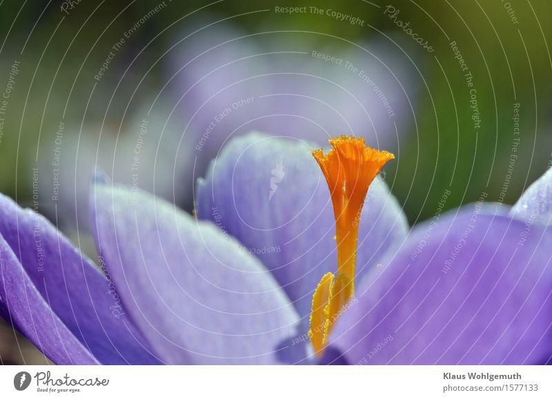 Frühlingsgefühle Lebensmittel Umwelt Natur Pflanze Blume Krokusse Garten Park Blühend blau grün orange Pollen Farbfoto Außenaufnahme Nahaufnahme Detailaufnahme
