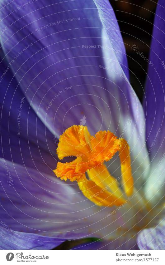 Der Schlund Umwelt Natur Pflanze Frühling Krokusse Garten Park Blühend blau gelb gold orange türkis Pollen Farbfoto Außenaufnahme Nahaufnahme Detailaufnahme