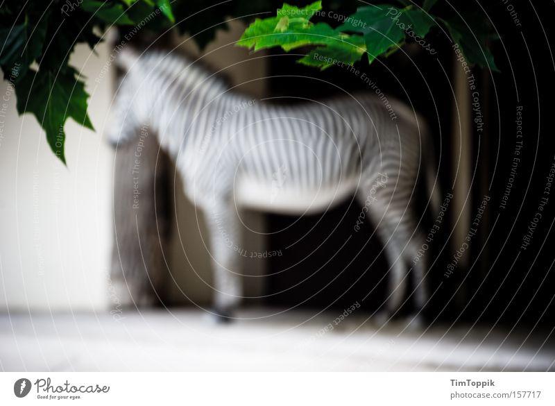 To blur a zebra 2.0 Zebra Zoo Tier Unschärfe Streifen Zebrastreifen Tiergarten Baum Zweig Ast Säugetier Garten Park Afrika