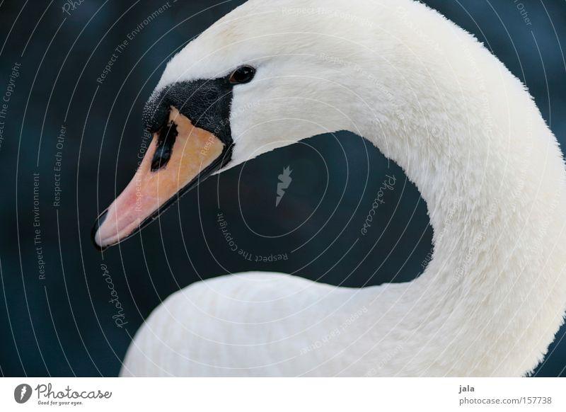 liebesvogel #5 Schwan elegant Tier Schnabel Hals Vogel Feder weiß schön ästhetisch Stolz Kopf Wasser