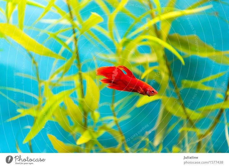Aquarium-Hähnchen-Fisch im blauen Wasser Meer süß türkis Hahn Papagei Salz Skalar Apogon Rotfeuerfisch Goldfisch Farbfoto