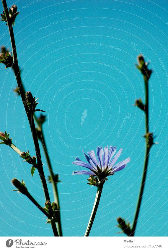 Blau! Himmel Blume blau Sommer Lampe Blüte Stengel Blühend Wegwarte