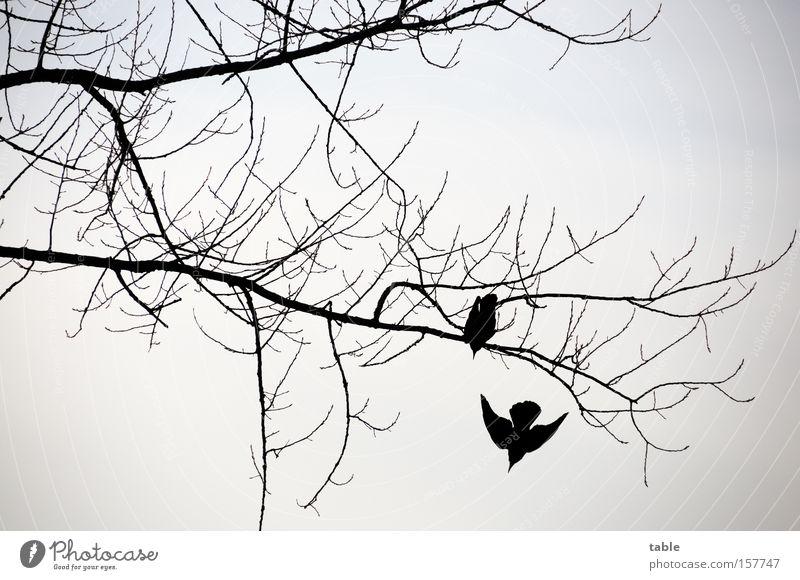 Aufbruch schön Winter schwarz kalt grau Vogel Luftverkehr Beginn Flügel Ast Zweig Abheben Rabenvögel