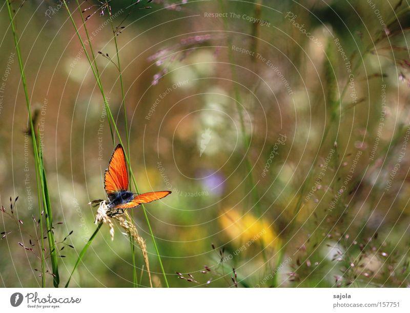 alpenwiese Natur Blume Pflanze Sommer Tier Wiese Gras orange warten Umwelt sitzen ästhetisch Flügel Insekt Alpen Schmetterling