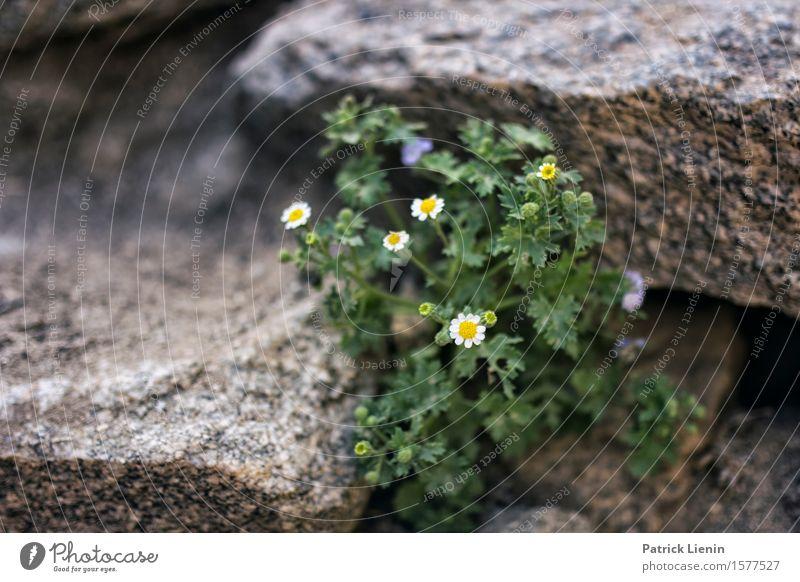 Mauerblümchen Natur Ferien & Urlaub & Reisen Pflanze grün schön Sommer weiß Blume Landschaft Berge u. Gebirge Umwelt Blüte klein Felsen Wetter Klima