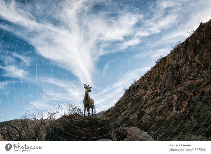 Bighorn Sheep Gesundheit Leben harmonisch Wohlgefühl Zufriedenheit Sinnesorgane Ferien & Urlaub & Reisen Abenteuer Expedition Sommer Berge u. Gebirge Umwelt