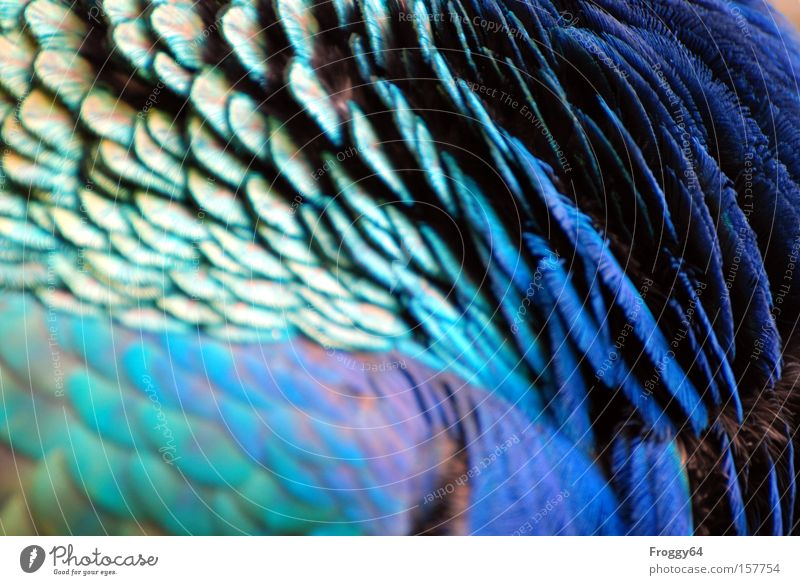 Blau Vogel Pfau blau Feder Flügel Hals Kopf weich Sommer Indien zart