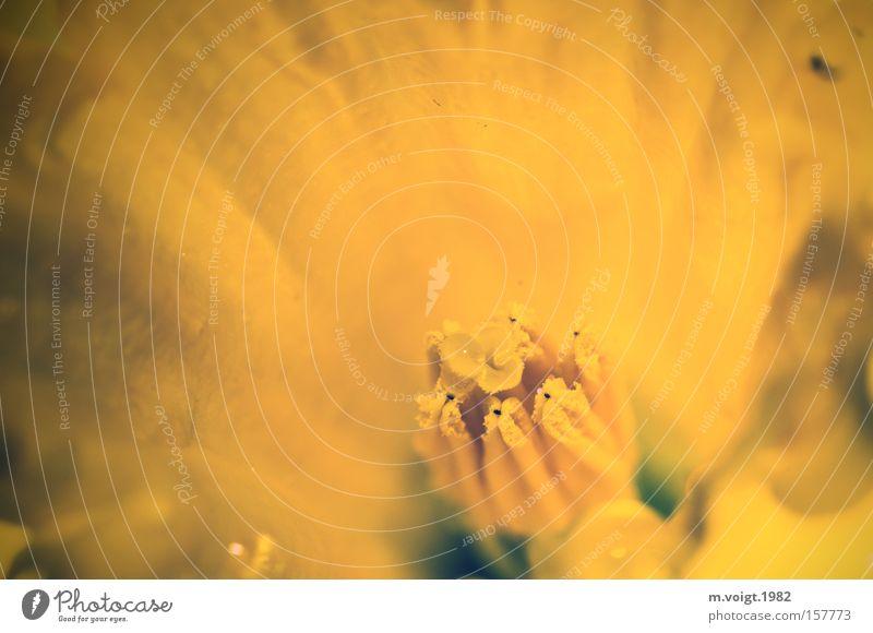 Verborgen Blume Narzissen Makroaufnahme Nahaufnahme Frühling Frühblüher gelb Blüte Detailaufnahme Gelbe Narzisse Staubfäden Stempel geheimnisvoll verborgen
