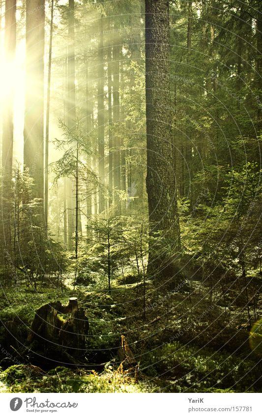 lichtblick Sonne Sonnenstrahlen Baum Wald Licht Lichtstrahl Waldboden Sträucher erleuchten Strahlung grün gelb Wärme
